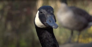 A Canada goose spotted in Brooklyn